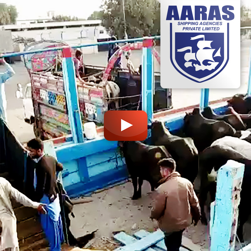AARAS Transporting Livestock - 400 Cows for Dubai Port from Karachi Pakistan